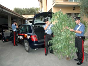 La pianta trovata dai carabinieri